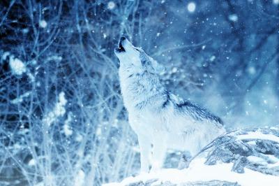 wolf-2288533_1920.jpg