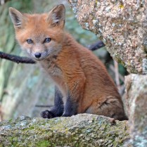 fox-1031693_1920 (2)